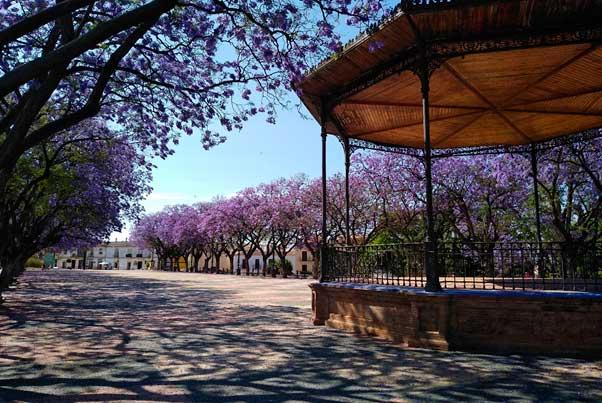 Jacarandas en flor en Jerez